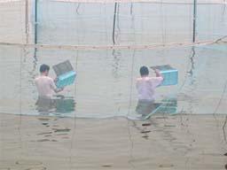 (写真)囲い網の中で稚エビを放流する