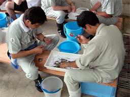 (写真)クルマエビに標識をつける作業